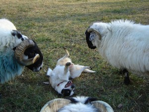Playing with the sheep