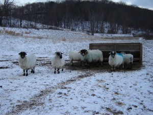 1st snow with the ewes