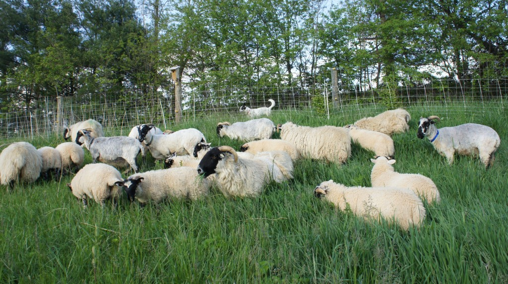 Grazing ewes and lambs