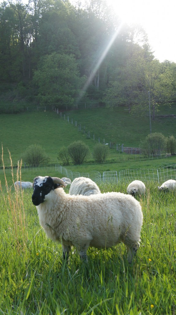 Growing Lamb